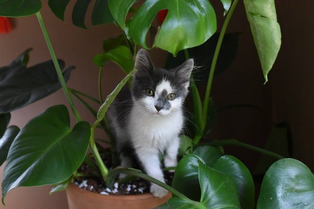 , Cat Sitting in Henderson, NV, The Comforted Kitty