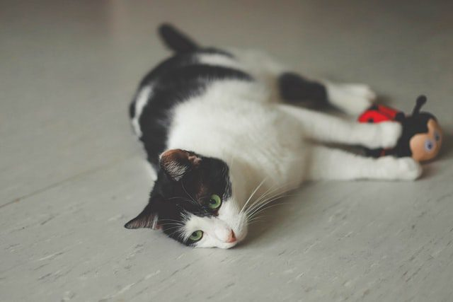 , All About COVID-19 and Cats, The Comforted Kitty