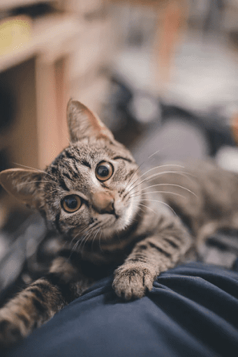 , 7 Common Cat Behaviors Explained, The Comforted Kitty