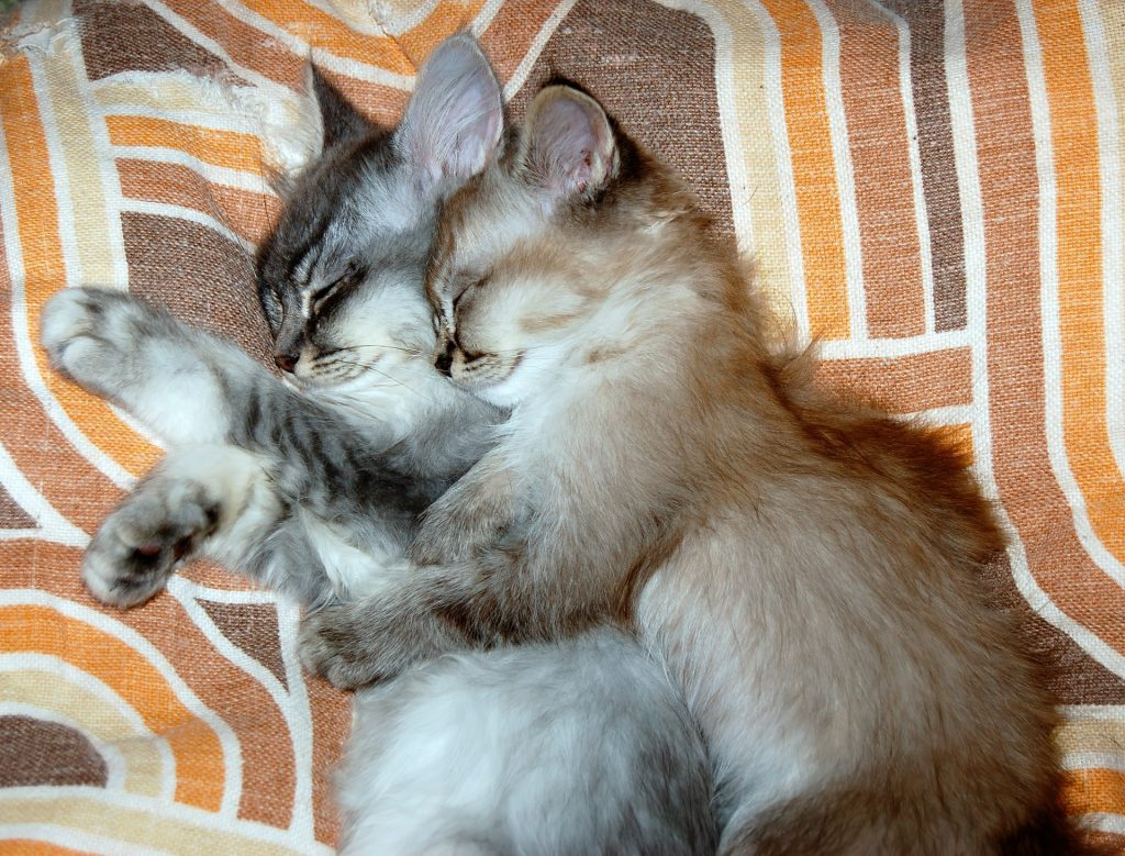 , The Utlimate Guide to Las Vegas Cat Adoption, The Comforted Kitty