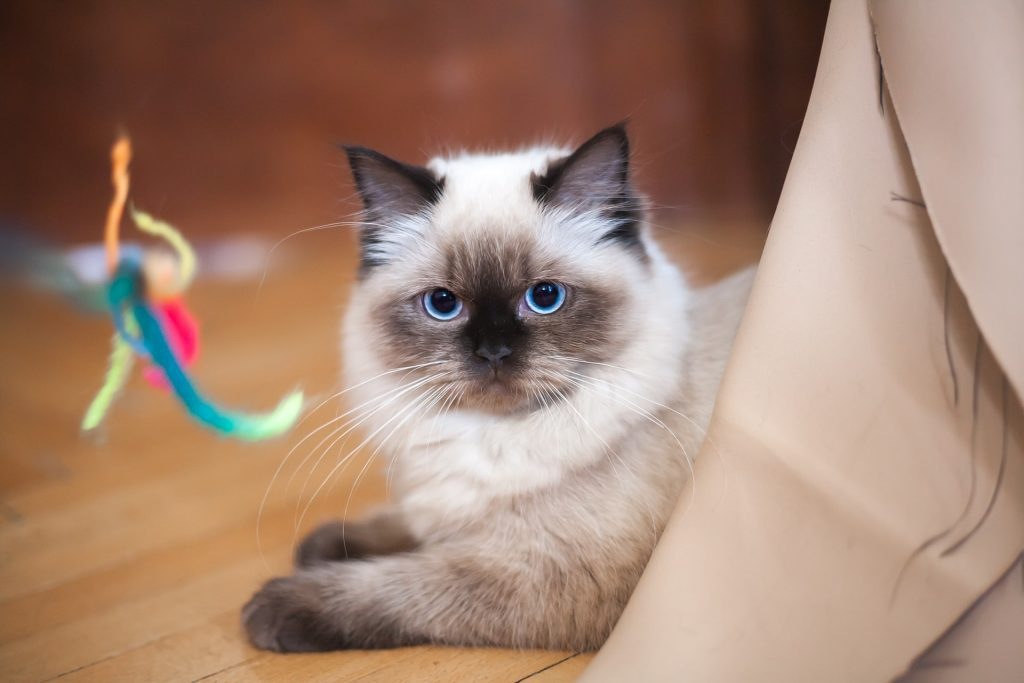 , Sacramento's Best Cat Sitting Service, The Comforted Kitty