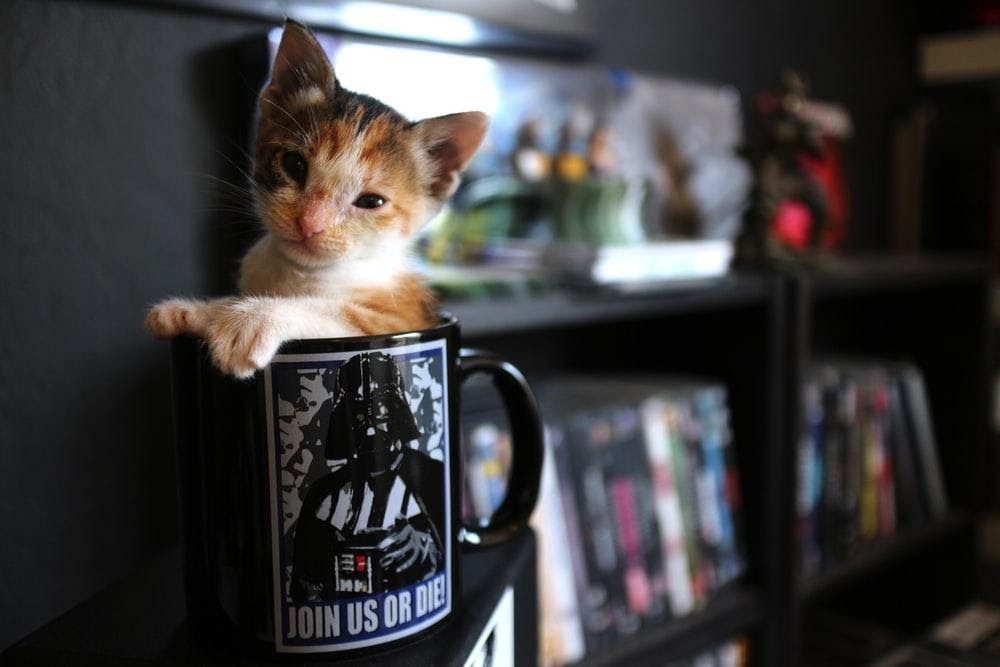 , Cat Cafés in Sacramento and Surrounding Areas, The Comforted Kitty