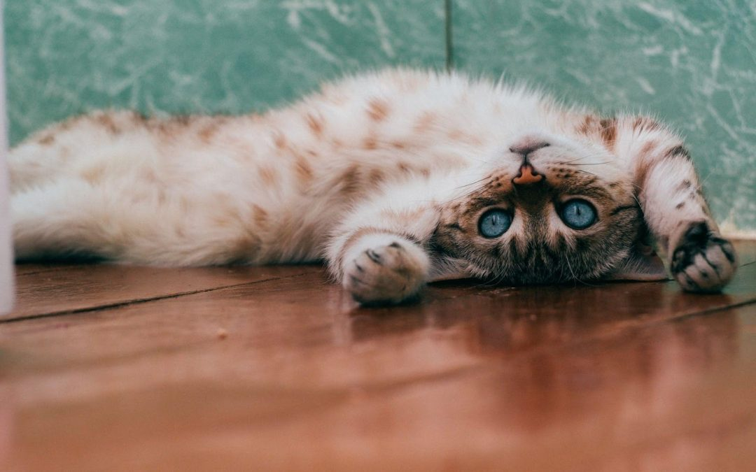 cat care, Cat Parents Blog – Cat Sitting Care – Book Today, The Comforted Kitty