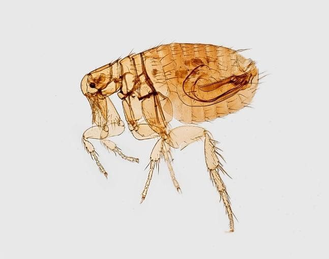 Problematic pests- fleas, ticks, and mites