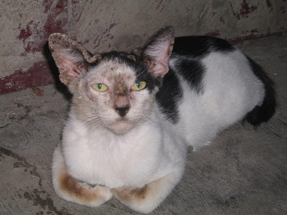 , Problematic pests- fleas, ticks, and mites, The Comforted Kitty
