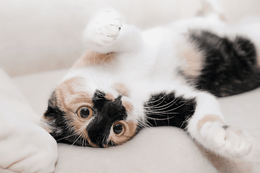 , How to Introduce a New Cat Into Your Home, The Comforted Kitty