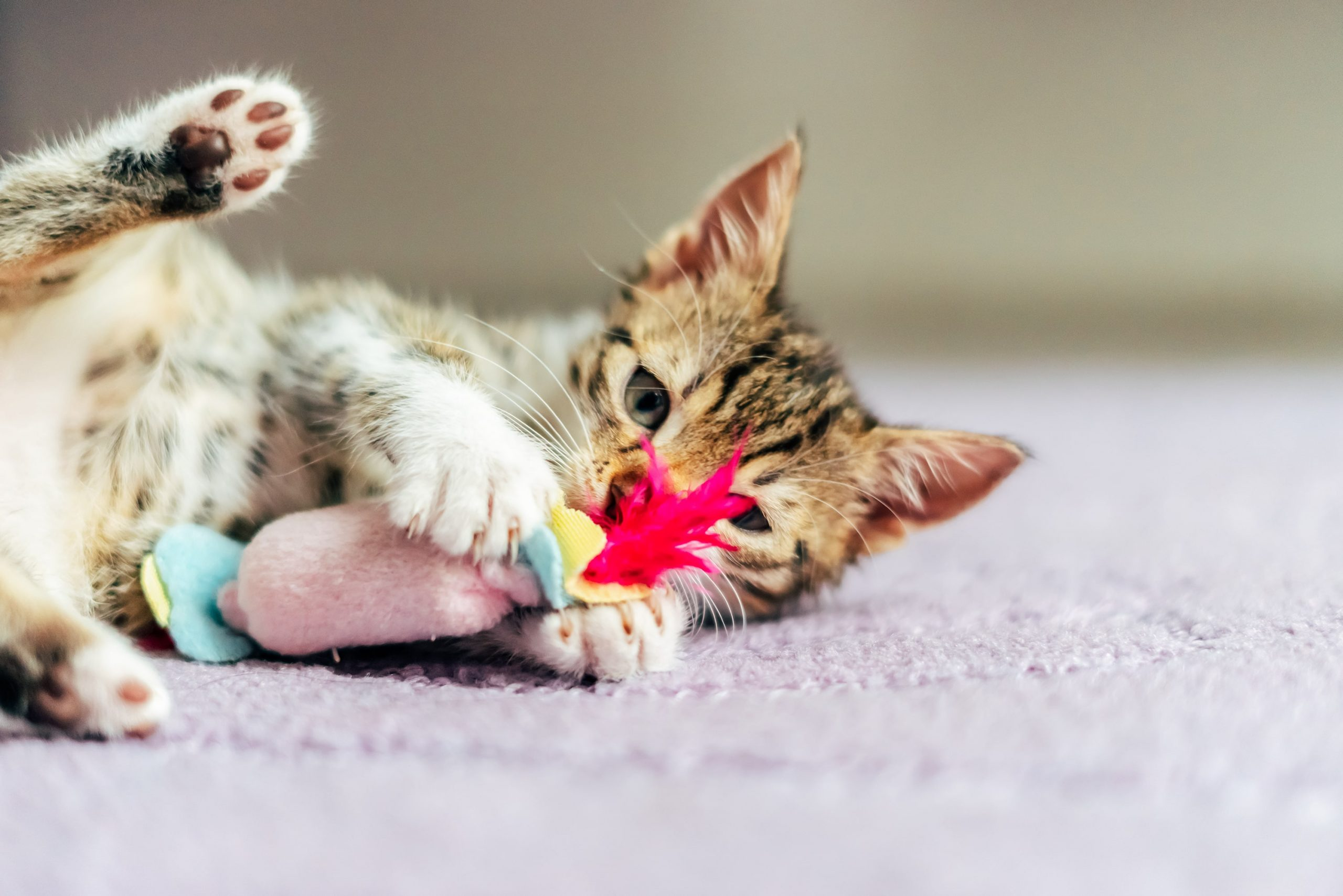 , Professional Cat Sitting in San Jose, The Comforted Kitty